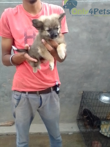 Culture male available for sale