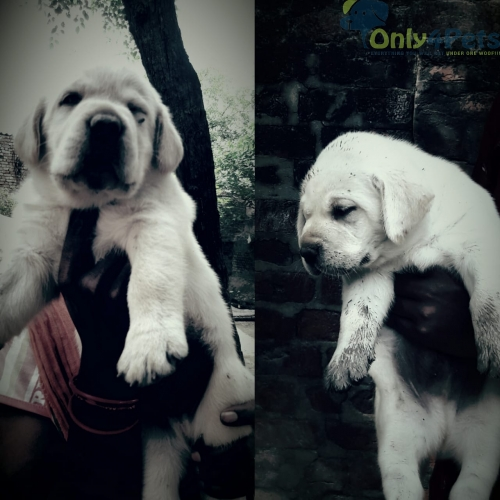 Available Lab Male Puppy ????