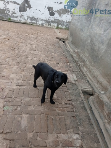 Sale sale sale sale zblack lab female age 17month