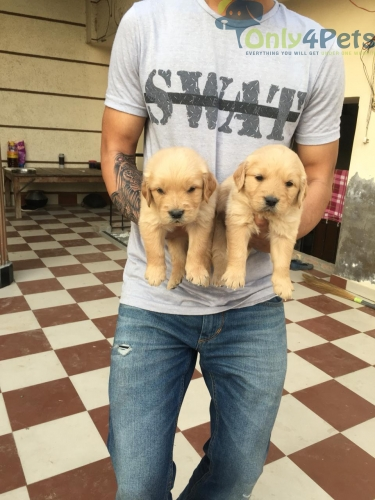 Golden Retriever Puppies Male and Female Available