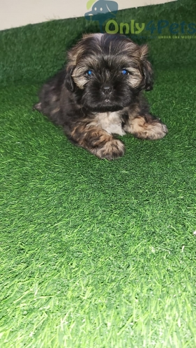 Top quality 58 days Lhasa apso female puppy.