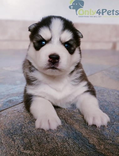Show quality Black and White Husky male . Blue eyes for sale.