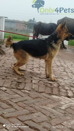 Gsd female for sale age 2 year