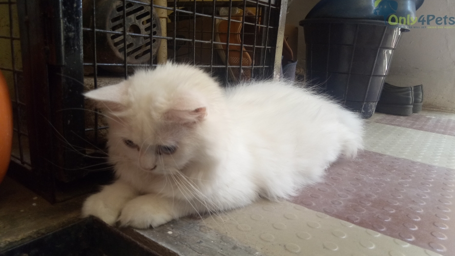 pure Persian cat for Sale