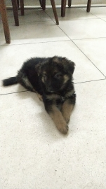 1.5 months old Double Coated German Shepherd Pups for sale