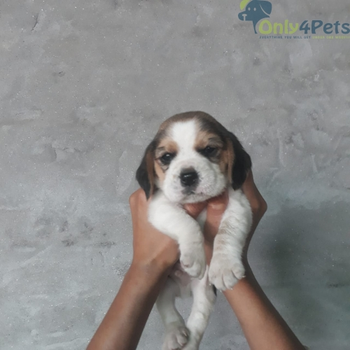 Begal male pup for sale