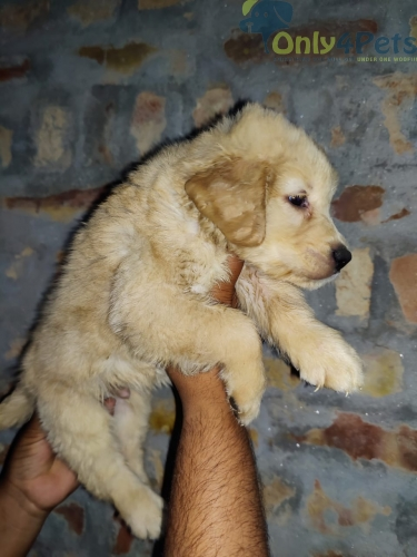 Golden Retriever ????           ????1 Male Available ????