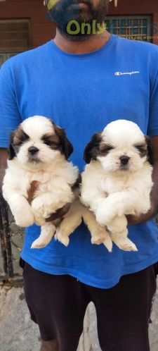 Good quality....tri colour.. shihtzu ..male and female puppies available.... for sale