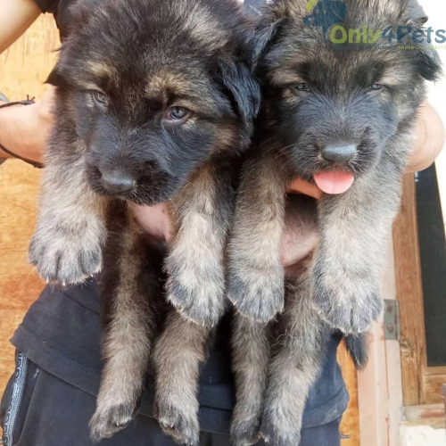 Fully heavier long coat gsd puppies are available for sale