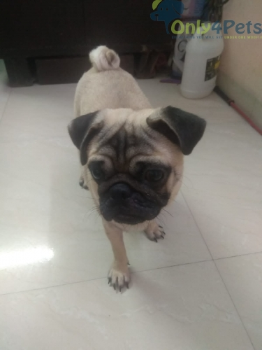 Pug male adult????????age 7 month old