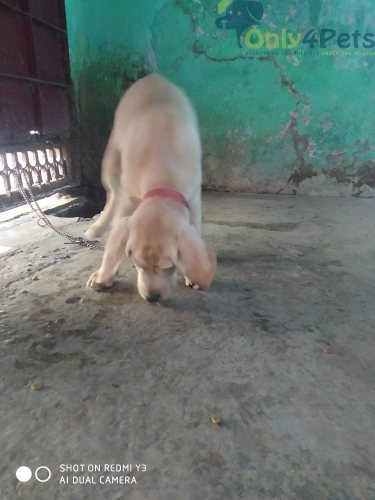 Labrador female available   Age 3 month
