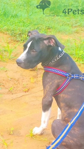 Pitbull female  ????Age : 6 months  ????Vaccination done