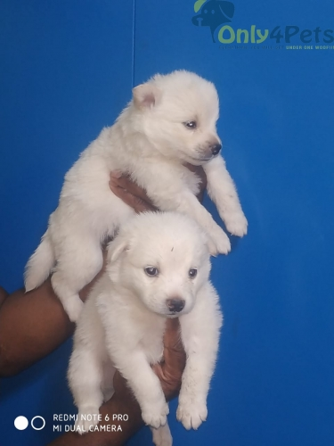 Pomeranian puppies available in Bangalore