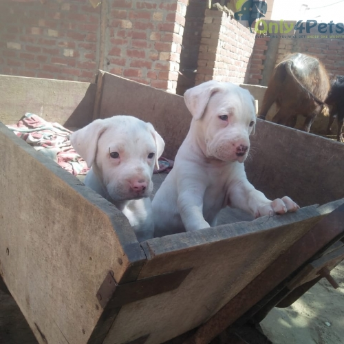 pk bully male and female sale