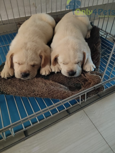 Labrador male pup available