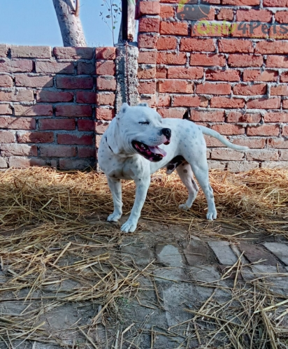 Ambully male sale age 13month