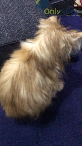 doll face persian cat for sale in Kolkata