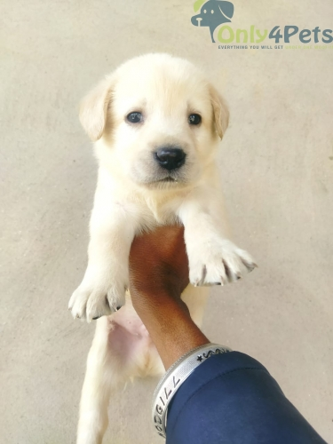 labrador dog  for sale