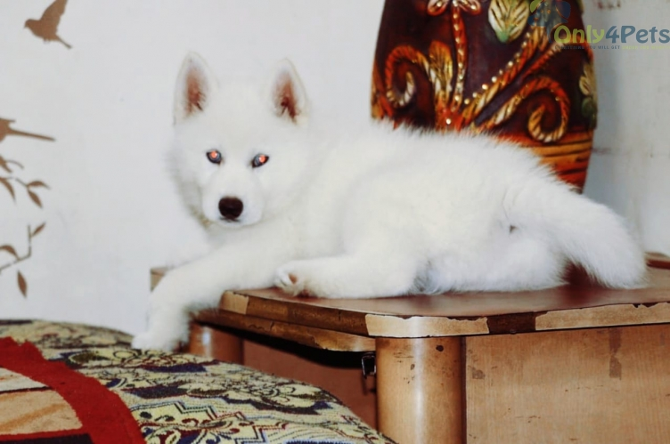 Husky pure white male blue eyes for sale