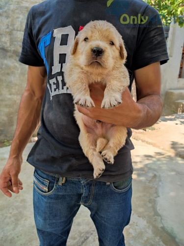 FULL TOP QUALITY GOLDEN RATIEWER MALE PUPPY AVAILABLE...