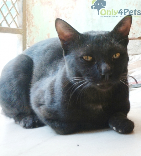 Extremely friendly Bombay Cat - Adopt free