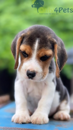try colour beagle male pup available
