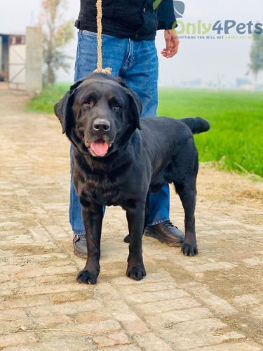 TOP QUALTI LAB STUD BLACK MALE SALE