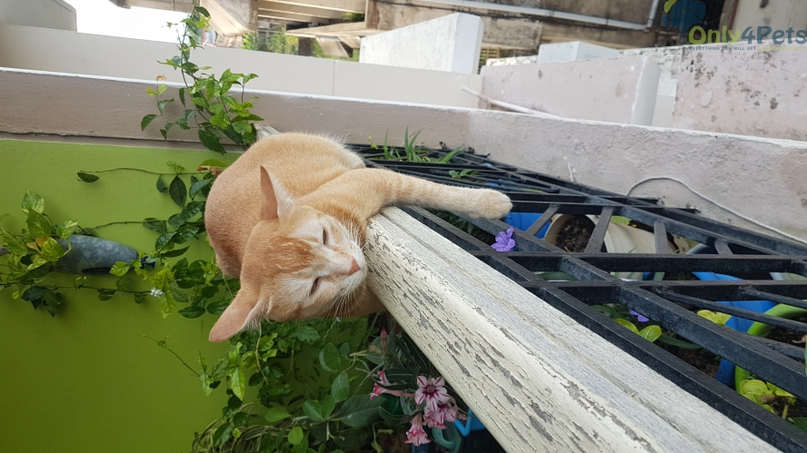 Two spayed and vaccinated orange tabby cats