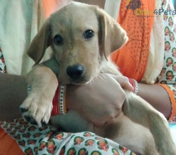 Cute Labrador Puppy fully vaccinated