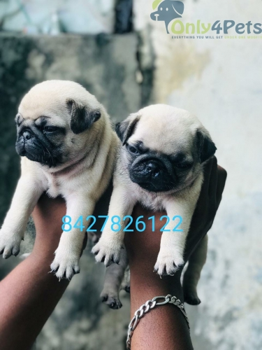 Pug female puppies available