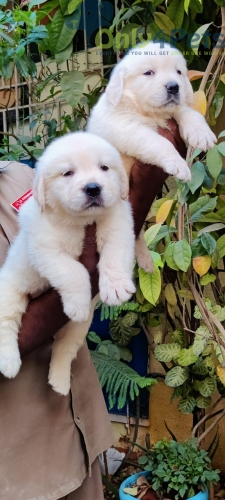 Golden retriever puppies available in Bangalore