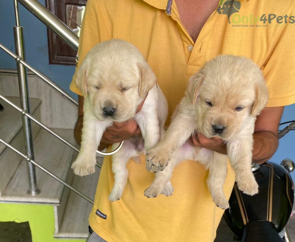 2 golden male         Puppy available