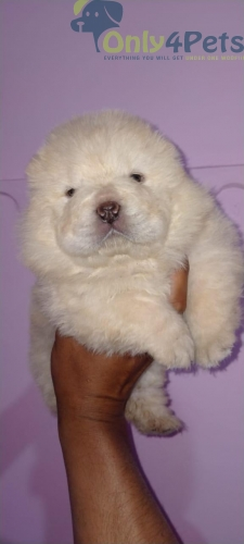 Top quality chow chow female available  Age 33 days