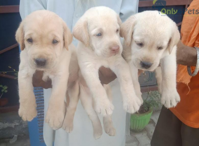 Full heavy golden lab male sale top quality