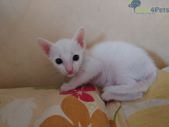 Pure white male cross breed kitten very healthy and very active