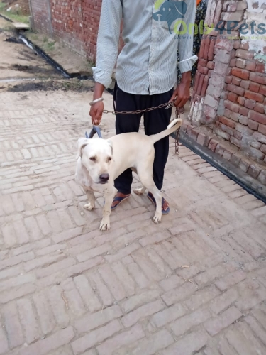 For sale pk bully