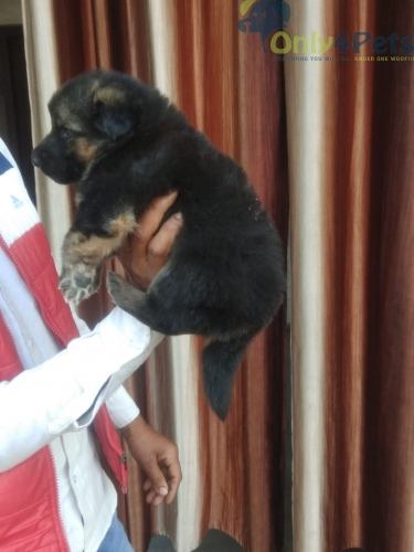 German shepherd for sale Long coat female