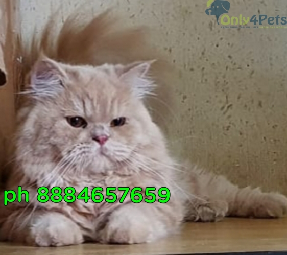 Persian Cat Ready to breed Male For Sale