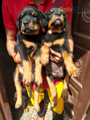 Rott female puppy available