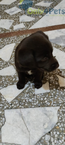 Lab male female for sale