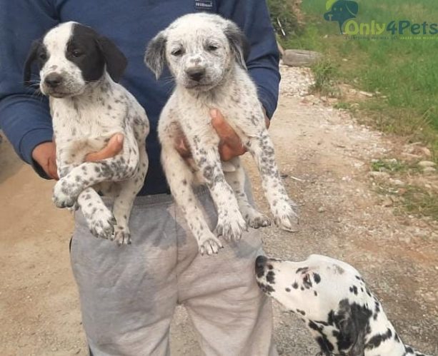 TOP QUALITY DALMATION MALE AVAILABLE FOR SALE AGE 35 DAYS..