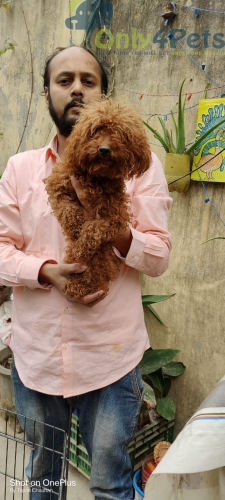 Toypoodle fresh female