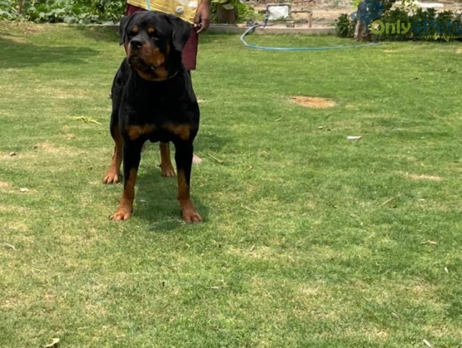 Rott Stud High quality Stud sale With paper