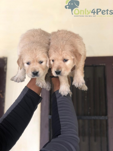 Golden retriever female puppy available  Age 32 days