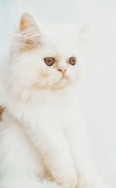Persian kitten male white 3 months old