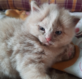 Persian Male Kitten with light blue eyes 1 month original breed