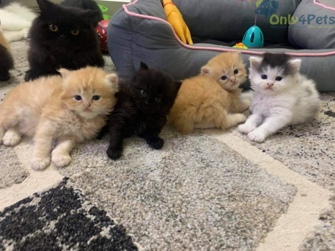 Pure Persian Kittens/ Cats For Sale