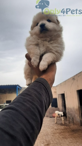 Top quality culture pom mail pup for sale