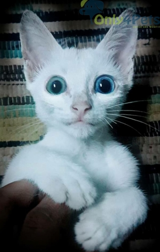 Khao manee Heterochromic Cat