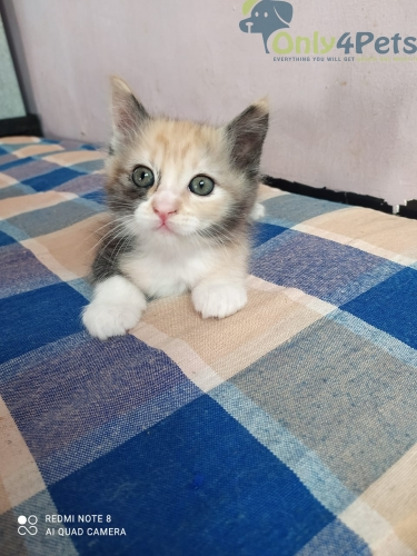 Persian Male Kitten For Sale